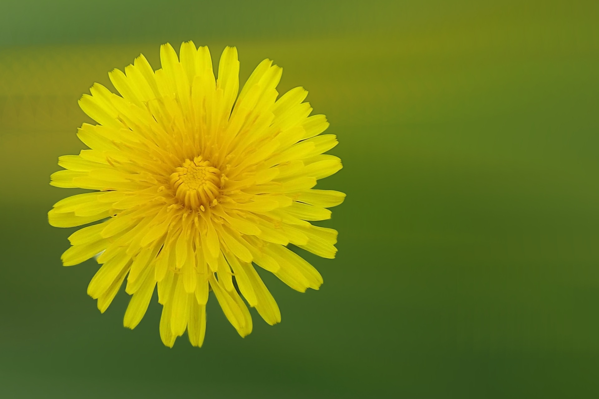 Beautiful Dandelion – for you and your dog